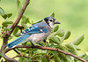 "<div class=""jaDesc""> <h4>Blue Jay in Pear Tree - August 22, 2011 </h4> <p>  While some of the adult Blue Jays are molting, many are not. This guy's feathers are looking very nice as he stopped briefly in our pear tree.</p> </div>"