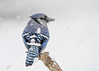"<div class=""jaDesc""> <h4>Snowy Blue Jay - December 9, 2016</h4> <p>This Blue Jay grabbed a sunflower seed and stopped on this perch on the way to a tree branch to eat it.</p> </div>"