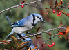 "<div class=""jaDesc""> <h4>Blue Jay in Crabapple Tree - October 20, 2010 </h4> <p>  The Blue Jays enjoy nibbling on the crabapples. These tasty morsels will all be gone in a few weeks.</p> </div>"