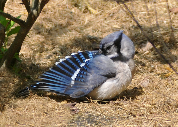 "<div class=""jaDesc""> <h4>Blue Jay Grooming - May 27, 2016</h4> <p>One of our many Blue Jays was taking some time to groom underneath one of our Winterberry bushes.</p> </div>"