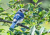 <h4>Blue Jay with Ripe Cherry - July 18, 2017</h4> <p>This Blue Jay grabbed one of the few remaining wild black cherries only six days after they were really ripe.</p>