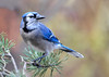 "<div class=""jaDesc""> <h4>Blue Jay on Red Pine Branch - November 27, 2016</h4> <p>This Blue Jay was guarding the feeder area, warding off Starlings till he got his share.</p> </div>"