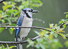 "<div class=""jaDesc""> <h4>Soggy Blue Jay - May 13, 2016</h4> <p>A steady morning rain had this Blue Jay looking pretty soggy.  The flattened feathers make the beak look larger than it normally does.</p> </div>"