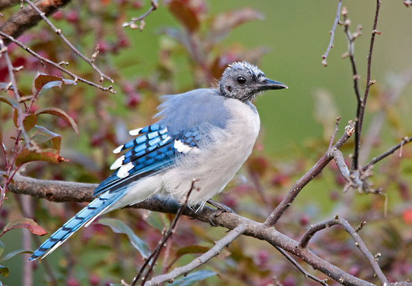 "<div class=""jaDesc""> <h4>Blue Jay Molting - August 22, 2011 </h4> <p>  This time of year we always have about 6 Blue Jays who lose all their head feathers. While they look like they have a disease, it is just a normal late summer event. In about a month they will have a full set of new head feathers.</p> </div>"