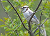 "<div class=""jaDesc""> <h4>Leucistic Lady Blue Jay Side View - May 19, 2016</h4> <p>This leucistic Blue Jay only stuck around for a few days.  Maybe she went looking for another leucistic bird.</p> </div>"