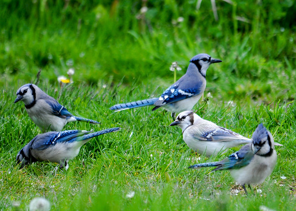 "<div class=""jaDesc""> <h4>Leucistic Blue Jay Ground Feeding - May 14, 2016</h4> <p>A leucistic Blue Jay showed up about a week ago.  She mingles with the other Blue Jays without any issues.</p> </div>"