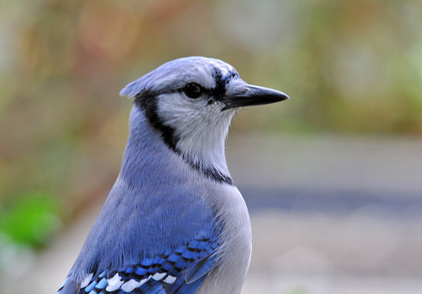 "<div class=""jaDesc""> <h4> Blue Jay Posing - October 15, 2011 </h4> <p>  This Blue Jay popped his head up before diving into the black-oiled sunflower seeds I had just put out. His crest is tucked back because there were no other Jays around to compete with.</p> </div>"