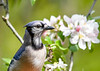 "<div class=""jaDesc""> <h4>Blue Jay in Blooming Apple Tree - May 22, 2017</h4> <p>Blue Jays like to perch in fruit trees.  Got a close-up of this one in an apple tree.</p> </div>"