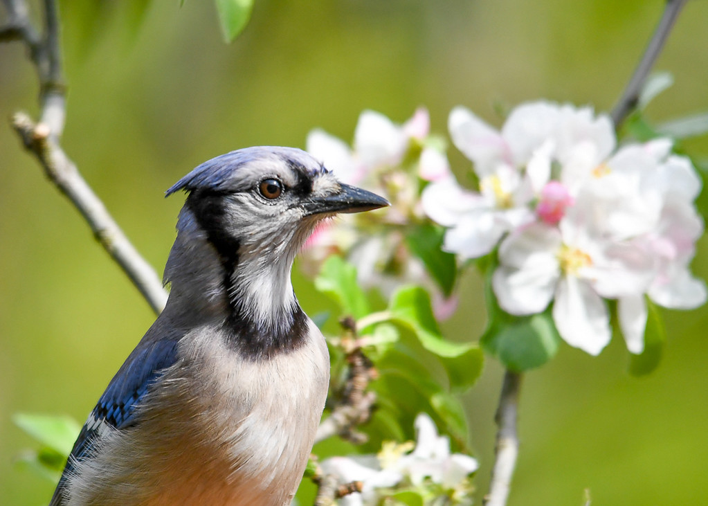 """<div class=""""jaDesc""""> <h4>Blue Jay in Blooming Apple Tree - May 22, 2017</h4> <p>Blue Jays like to perch in fruit trees.  Got a close-up of this one in an apple tree.</p> </div>"""