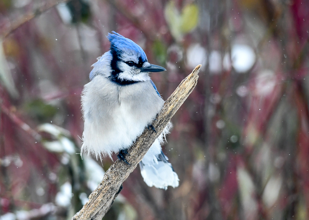 """<div class=""""jaDesc""""> <h4>Blue Jay Posing - January 13, 2018</h4> <p>This Blue Jay was doing his best to stay warm in the frigid weather.</p></div>"""