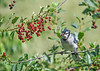 "<div class=""jaDesc""> <h4>Blue Jay with Two Cherries - July 17, 2016</h4> <p>He was successful even if the second one is a bit shriveled.  Now he has to figure out how to eat them.</p> </div>"