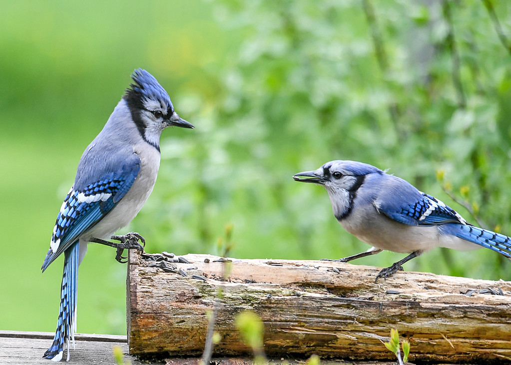 """<div class=""""jaDesc""""> <h4>Blue Jay Stare-down - May 2, 2017</h4> <p>The Blue Jay on the left is assertively letting the other one know that his turn at the feeder is up.  The stare down worked; the other Blue Jay departed.</p> </div>"""