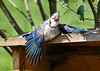 "<div class=""jaDesc""> <h4>Young Blue Jay with Tail and Wing Feathers Spread - August 30, 2013 </h4> <p> One theory as to why Blue Jays and other wild birds do this is that they are are controlling feather parasites.  This youngster remained in this position for about 2 minutes and then flew over to a feeder to eat sunflower seeds.</p> </div>"