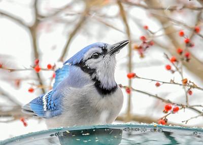 Blue Jay Drip on Beak - January 18, 2020