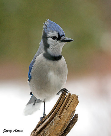 "<div class=""jaDesc""> <h4>Blue Jay Posing - December 19, 2009 </h4> <p>  I really liked this Blue Jay's expression as he posed for me while waiting his turn at the suet block.  Some of the Blue Jays are very bossy and aggressive while others are easy going.  This was one of the mellow ones.</p> </div>"