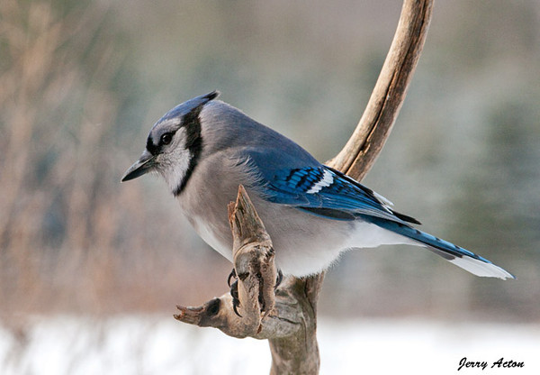 "<div class=""jaDesc""> <h4>Boss Blue Jay - January 30, 2010 </h4> <p>  This is the boss Blue Jay.  All the other Blue Jays move aside when he comes in.  If they don't, he makes sure they do by flying at them and aggressively pecking at them.</p> </div>"