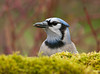 """<div class=""""jaDesc""""> <h4>Blue Jay with Sunflower Seed - May 1, 2011 </h4> <p>  We have 24 Blue Jays at our feeders every morning. I encourage the frenzy by putting out a container of un-shelled peanuts. This gal was chowing down on sunflower seeds.</p> </div>"""