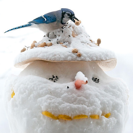 "<div class=""jaDesc""> <h4>Blue Jay on Snowman - March 3, 2010 </h4> <p>  My grandson Colin and I had just finished building this snowman.  The peanuts were deliberately placed on top of his hat to entice the Blue Jays.</p> </div>"