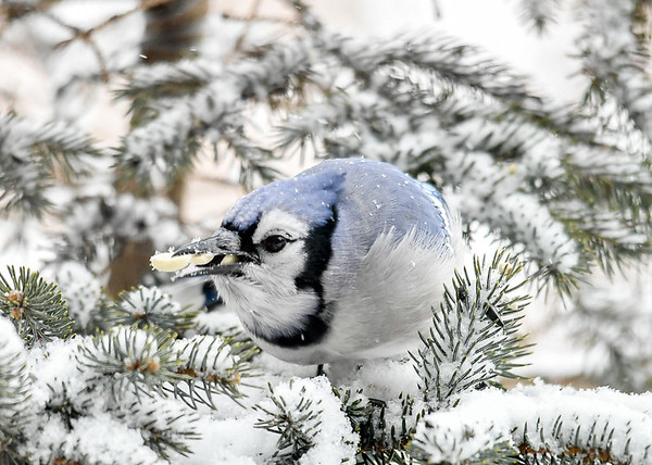 <h4>Blue Jay - Three Peanuts in Beak - January 29, 2019</h4> <p></p>