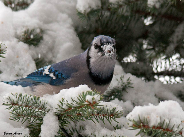 """<div class=""""jaDesc""""> <h4>Blue Jay with Snowy Beak - February 10, 2010 </h4> <p>  This Blue Jay was digging in the snow for sunflower seeds I tossed into our used Christmas tree.  He must have been watching me when I put them in.  Normally only the Chickadees, Juncos and Cardinals visit this tree.</p> </div>"""