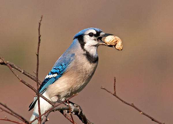 "<div class=""jaDesc""> <h4>Blue Jay Showing Off His Peanut - April 2, 2010 </h4> <p>  Normally when the Blue Jays get a peanut, they immediately fly off to stash it somewhere.  This guy wanted to show his off for a few minutes before he took it away.</p> </div>"