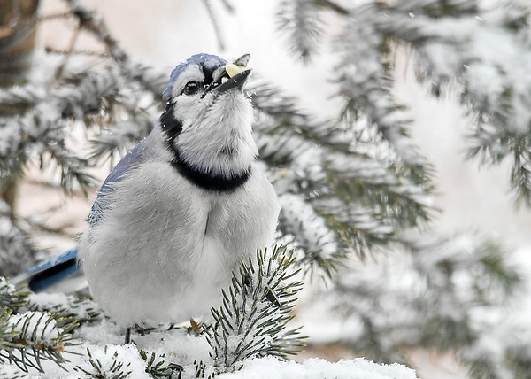 <h4>Blue Jay - Tossing Peanuts in Croup - January 29, 2019</h4> <p></p>