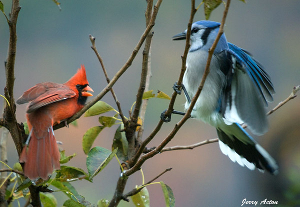 """<div class=""""jaDesc""""> <h4>Cardinal Glaring at Blue Jay - October 16, 2009 </h4> <p>  The Cardinal does not like to share his perch tree with the Blue Jays.  He is warning this Blue Jay off.  The Blue Jay looks a bit taken aback since none of the other birds stand up their aggressive behavior.</p> </div>"""