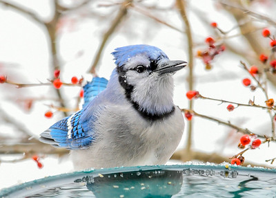 Blue Jay Ready for Drink - January 18, 2020