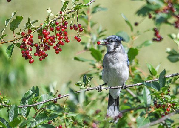 "<div class=""jaDesc""> <h4>Blue Jay Grabs Wild Cherry - July 17, 2016</h4> <p>This Jay has picked the perfect perch to get cherries.  Last year a Raccoon family ate all the cherries in one night, breaking off several limbs in the process.  This year I made a 5 foot high tin baffle to foil them; it is working.</p> </div>"