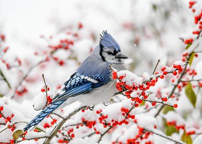 Blue Jay - Contemplating Winterberries - November 8 2019