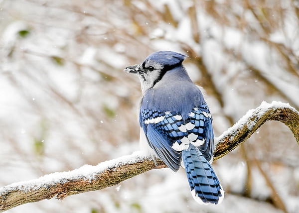 "<div class=""jaDesc""> <h4>Blue Jay on Snowy Perch - November 8 2019</h4> <p></p></div>"