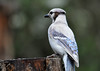 "<div class=""jaDesc""> <h4>Leucistic Lady Blue Jay Back View - May 19, 2016</h4> <p>I enjoyed her beauty while she was here.  Sorry to see her leave.</p> </div>"