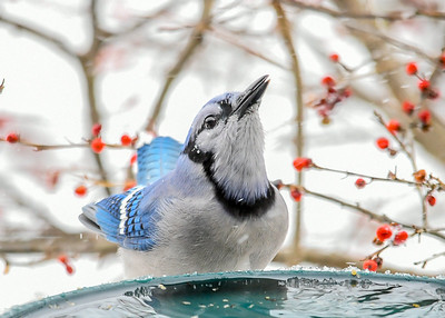 Blue Jay Gravity Assisted Swallow - January 18, 2020