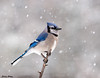 "<div class=""jaDesc""> <h4>Blue Jay in Snow Storm - February 10, 2010 </h4> <p>  When it starts snowing, the Blue Jays always mob the feeders.  Not knowing how long it will snow, they want to tank up on sunflower seeds.</p> </div>"