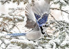 <h4>Blue Jay - Off to Stash in Hiding Place - January 29, 2019</h4> <p></p>