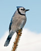"""<div class=""""jaDesc""""> <h4>Sentinel Blue Jay - February 10, 2011 </h4> <p>  There has been a Sharp-shinned Hawk around lately, so the Blue Jays take turns on sentinel duty. Their alarm screech is very loud if they see a hawk and all the birds scramble for cover.</p> </div>"""