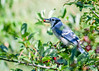 "<div class=""jaDesc""> <h4>Blue Jay Showing Off Wild Cherry - July 17, 2016</h4> <p>Our Wild Cherry tree has at least 1000 ripe cherries on it.  We have about 60 Blue Jays in daily.  That makes for 15+ cherries per Jay.  The Starlings and Catbirds get a few too.</p> </div>"