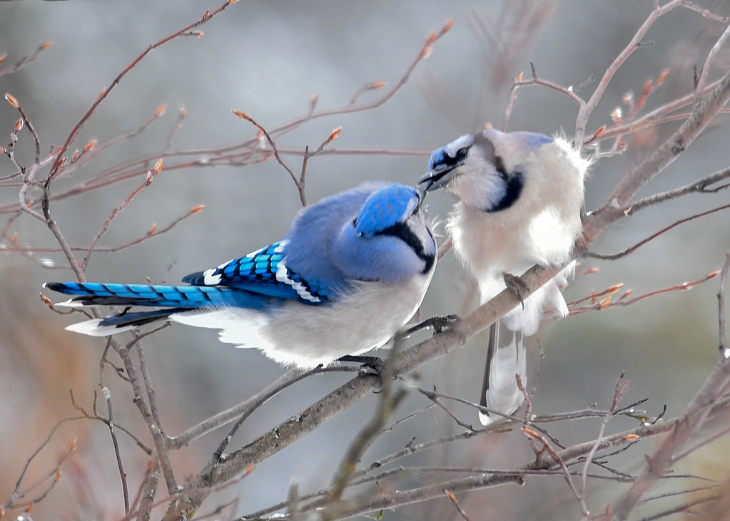 "<div class=""jaDesc""> <h4>Blue Jay Love Sealed with a ""Kiss"" - March 3, 2018</h4> <p>The male on the left is passing a sunflower seed to the female.  This is a sign to her that he will be a good food provider Dad to their chicks.</p></div>"