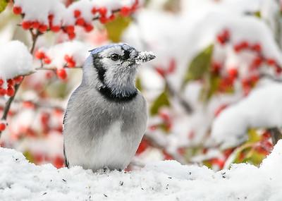 Blue Jay - Snow on Beak - November 8 2019