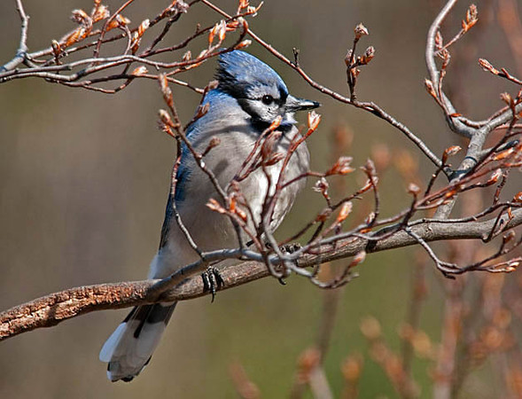 "<div class=""jaDesc""> <h4>Blue Jay in Serviceberry Tree - March 27, 2010 </h4> <p>  The serviceberry trees are starting to bud with all the warm weather.  They are one of the Blue Jays' favorite perch trees.</p> </div>"