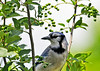 "<div class=""jaDesc""> <h4> Blue Jay in Wild Cherry Tree - June 18, 2014 </h4> <p>The wild cherries are full size now.  They will be ripe for eating in a few months.  The Blue Jays usually get first pickings, but the  Catbirds, Robins, Cedar Waxwings, and Starlings will get their share.  </p> </div>"