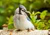 "<div class=""jaDesc""> <h4> Fluffy Blue Jay - August 21, 2014 </h4> <p>This Blue Jay had his feathers fluffed in the cool morning air.</p> </div>"