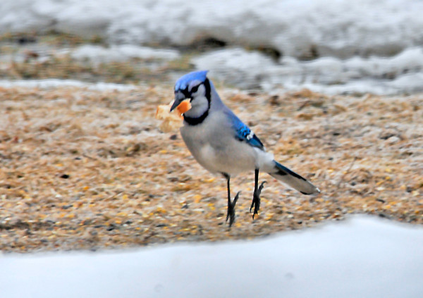 """<div class=""""jaDesc""""> <h4> Blue Jay Takes Off with Bread - March 8, 2014 </h4> <p>I tossed some stale bread out for the birds this morning.  I caught this Blue Jay leaping into the air with his piece just before he started flapping his wings.</p> </div>"""