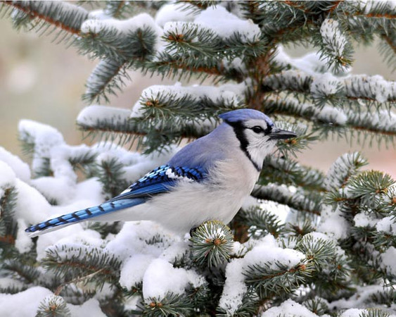 "<div class=""jaDesc""> <h4>Blue Jay in Snowy Spruce Tree - December 16, 2010 </h4> <p>  We are now up to 30 Blue Jays that wait in the tree tops every morning while I spread seed and un-shelled peanuts around the feeder areas. I also put out toasted eggshell halves which they grab and carry away.</p> </div>"