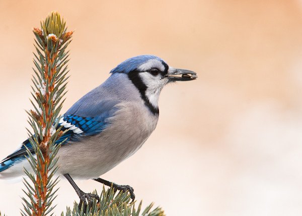 """<div class=""""jaDesc""""> <h4> Blue Jay Holding Two Seeds - February 3, 2013 </h4> <p> This Blue Jay somehow managed to get one seed forward and one sideways in his beak.  He was in the top of a small spruce tree showing off his seed grab.</p> </div>"""
