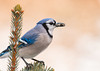 "<div class=""jaDesc""> <h4> Blue Jay Holding Two Seeds - February 3, 2013 </h4> <p> This Blue Jay somehow managed to get one seed forward and one sideways in his beak.  He was in the top of a small spruce tree showing off his seed grab.</p> </div>"