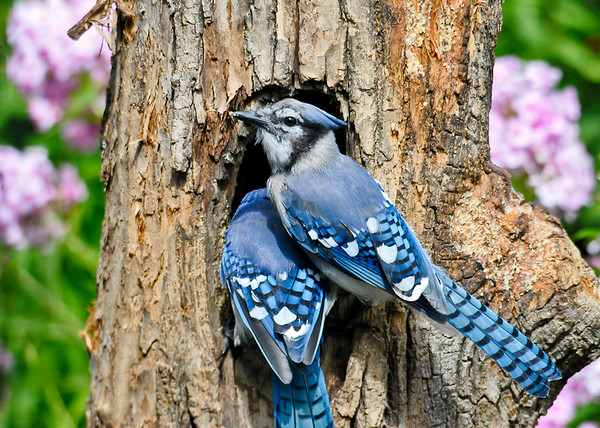 "<div class=""jaDesc""> <h4> Blue Jay - It's My Turn - August 15, 2014 </h4> <p>The first Blue Jay in the suet hole was taking too long.  So the second Blue Jay was letting him know it was his turn by crowding in on his back.</p> </div>"