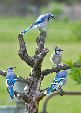 "<div class=""jaDesc""> <h4>Blue Jay Hangout - May 15, 2016</h4> <p>The Woodpeckers destroyed my favorite crabapple tree.  So I pruned it and turned it into a perch which all the birds love.  It is a popular Blue Jay hangout and a drying rack for lots of species after baths.</p> </div>"