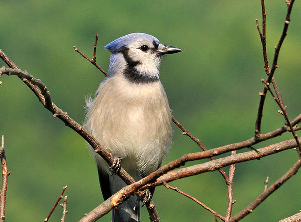 "<div class=""jaDesc""> <h4>Juvenile Blue Jay on Perch - July 17, 2010 </h4> <p>   We have about 6 juvenile Blue Jays following their parents around our yard begging to be fed. This one has started to look more like an adult and get his own food.</p> </div>"