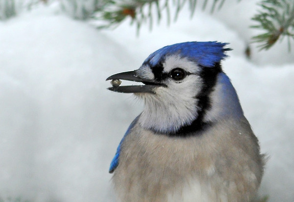"<div class=""jaDesc""> <h4> Blue Jay Finds Seed - February 12, 2012 </h4> <p> This afternoon I tossed more sunflower seeds into the snow on our holly bush because it was so cold and windy. The Blue Jays like to hunt for the seeds in the snow. This gal plucked one out and showed off her find.</p> </div>"